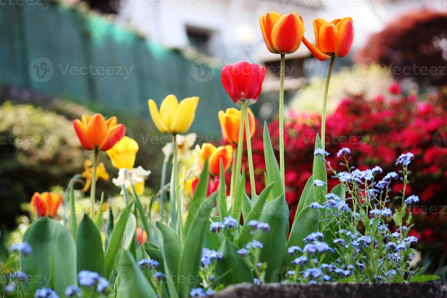 tulipanes, narissen, forgetmenots, azaleas spring garden en el lago maggiore, primer plano foto