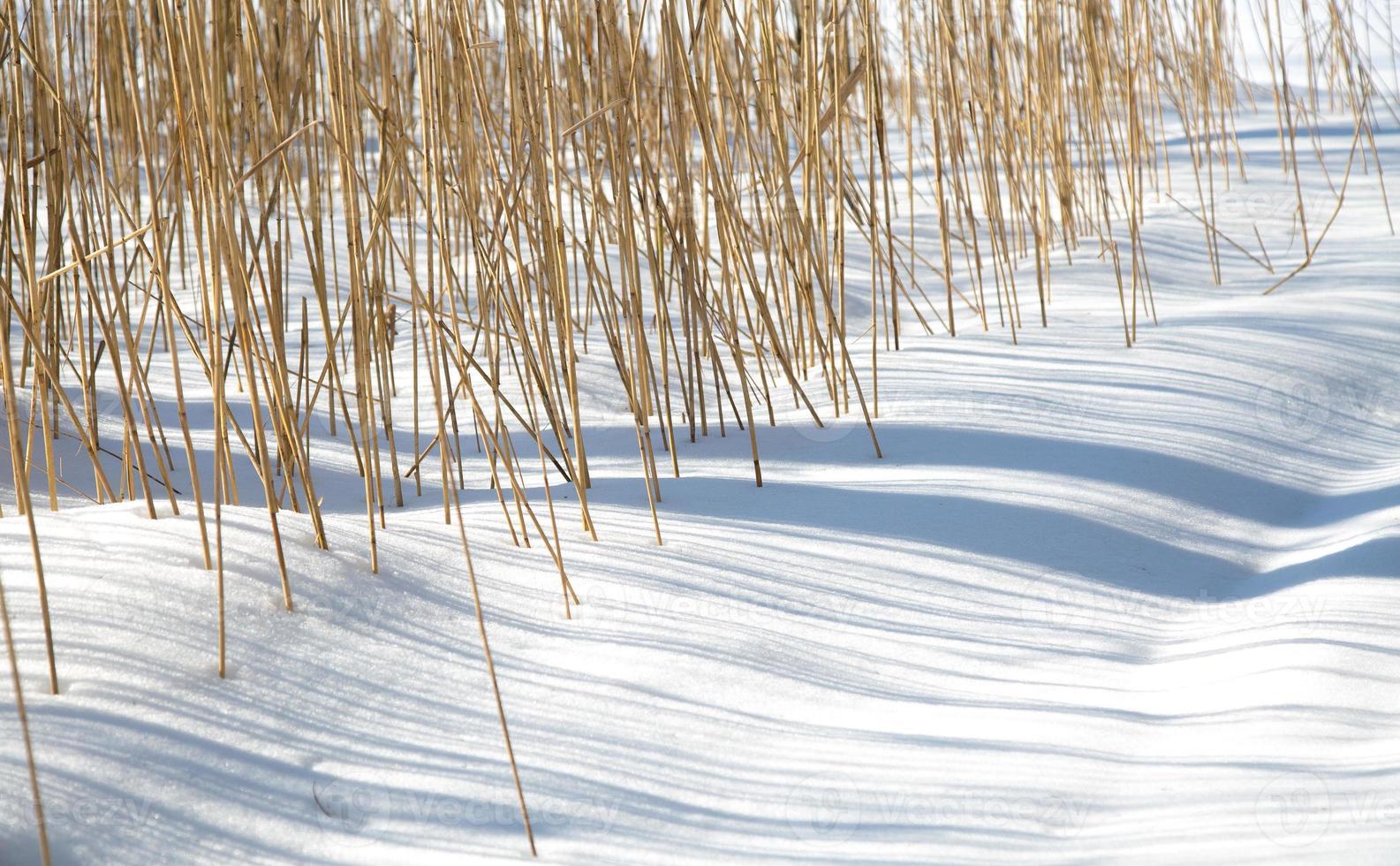 Cañas en la nieve. foto