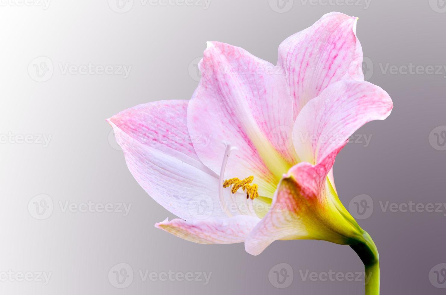 flor de hippeastrum johnsonii foto