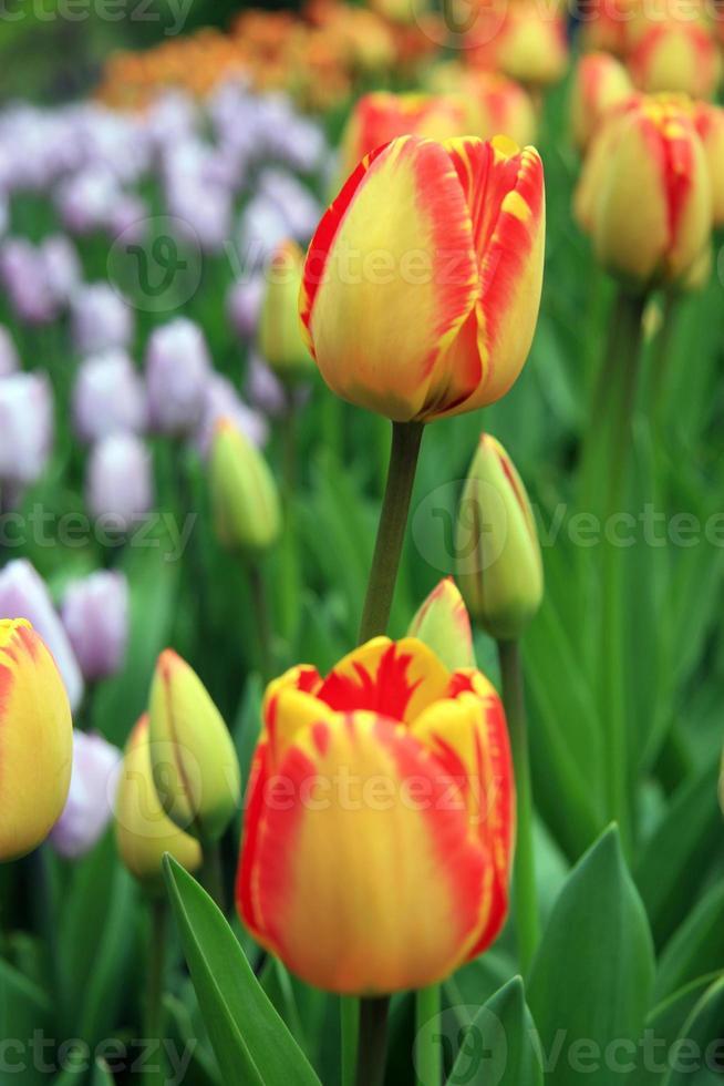 Red - yellow tulips photo