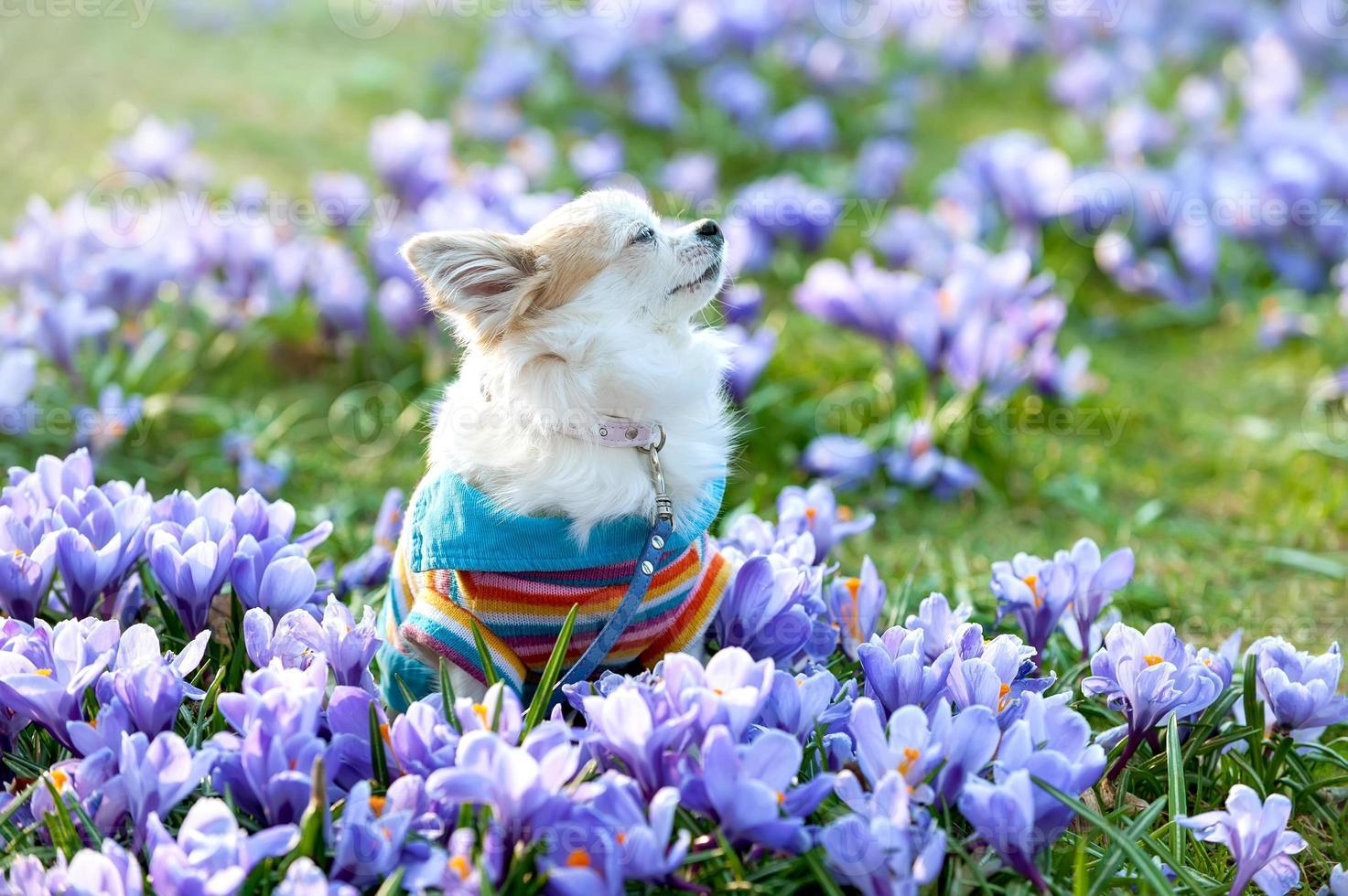 Chihuahua dog dreaming among purple crocus flowers photo