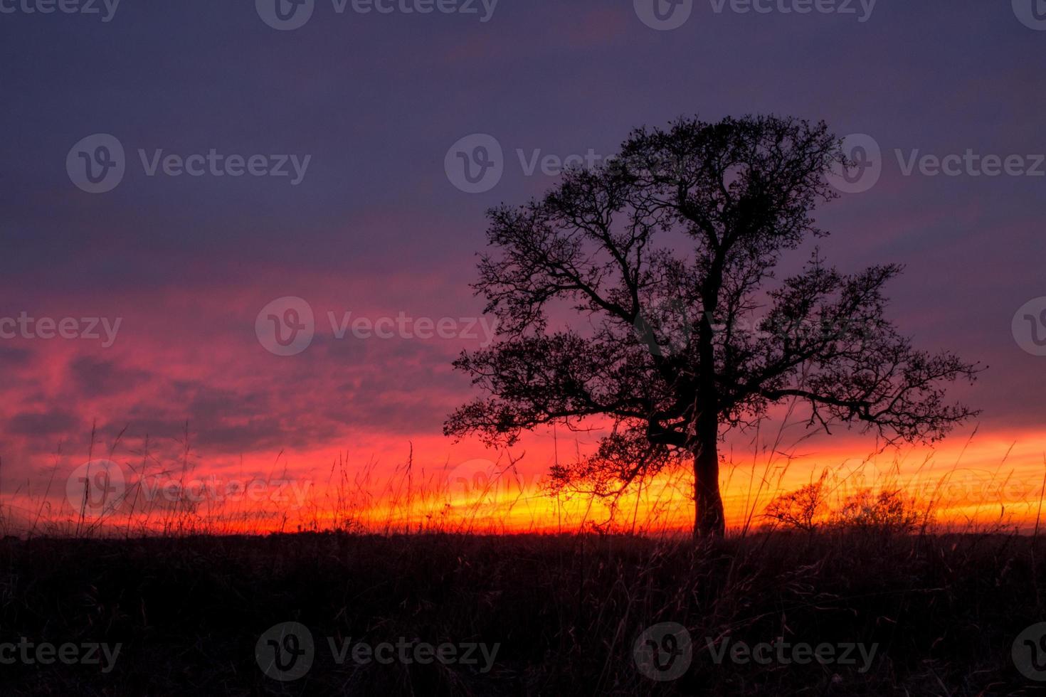 Oak tree sunset photo