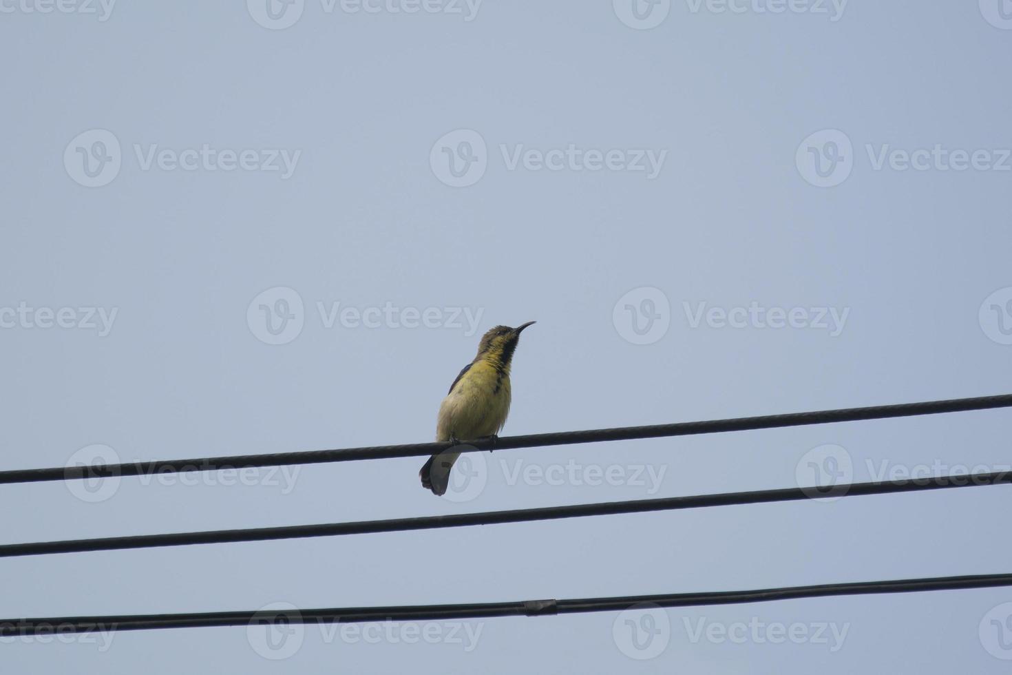 Hembra Sunbird con espalda verde oliva foto