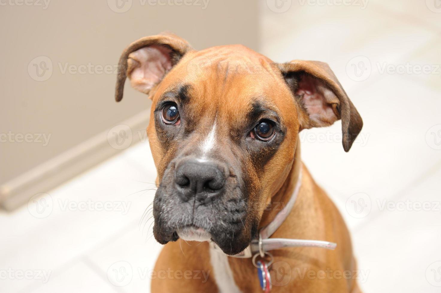 Female boxer dog looking photo