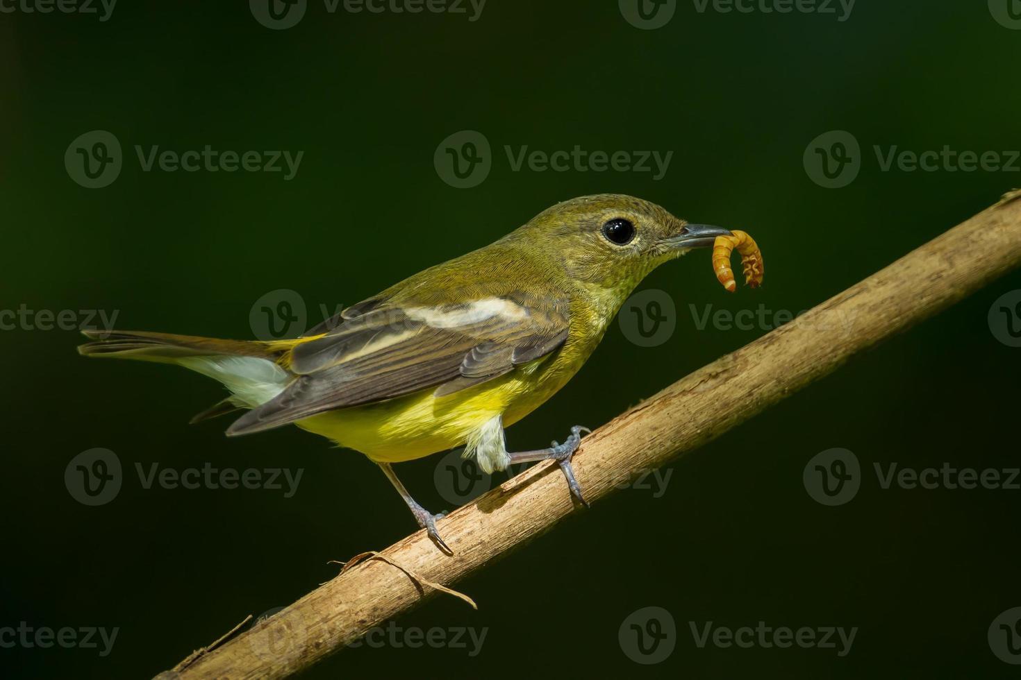 Female yellow-rumped flycatche photo
