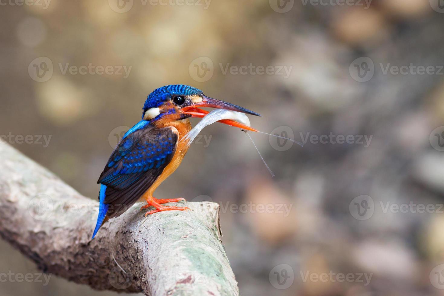 martín pescador de orejas azules (hembra) foto