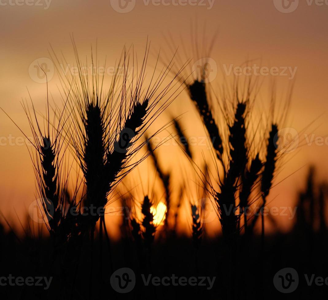 wheat at sunset photo