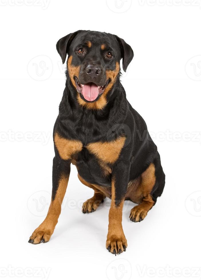 Perro Rottweiler aislado en blanco foto