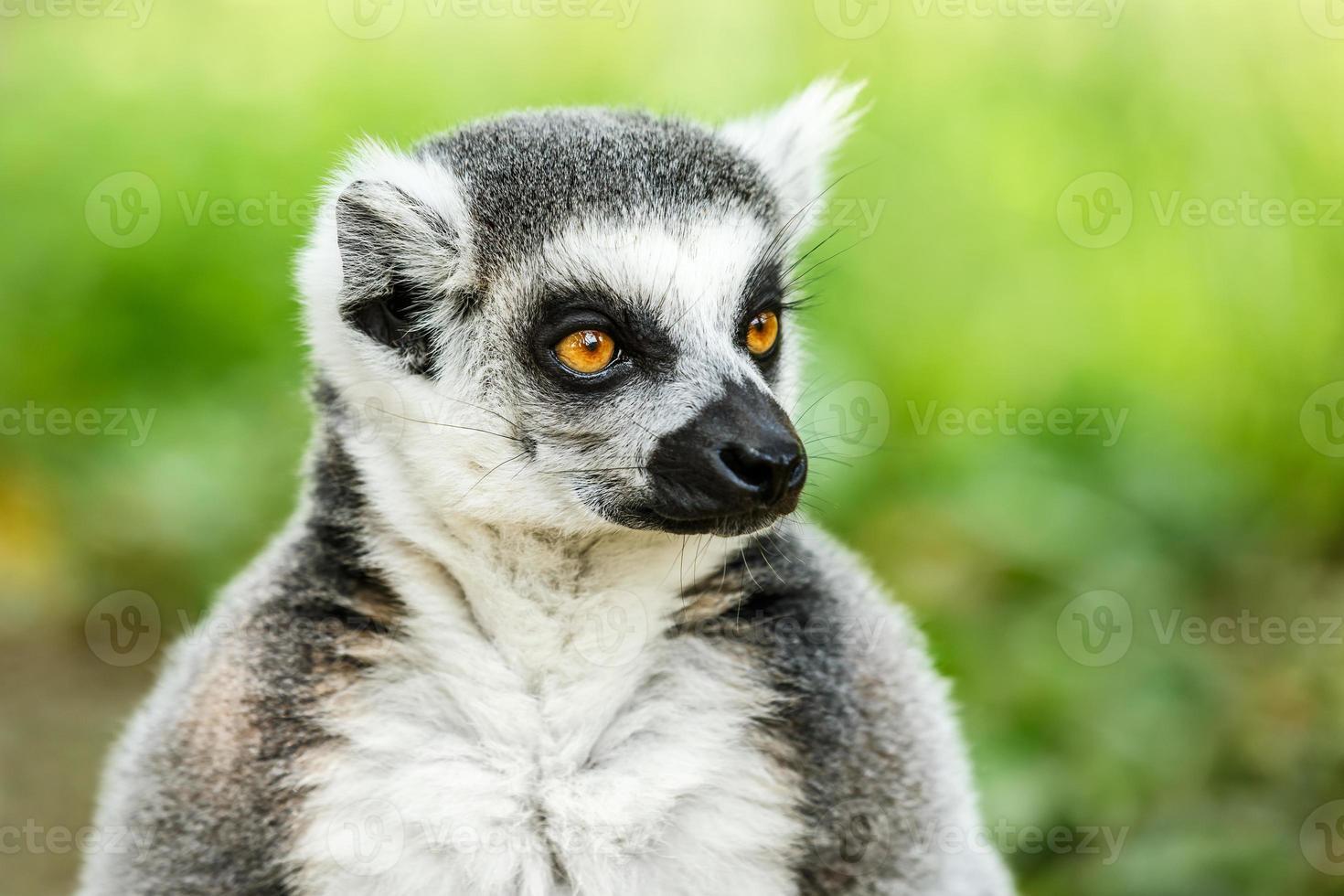 hermosa cara de lémur de cola anillada de cerca foto