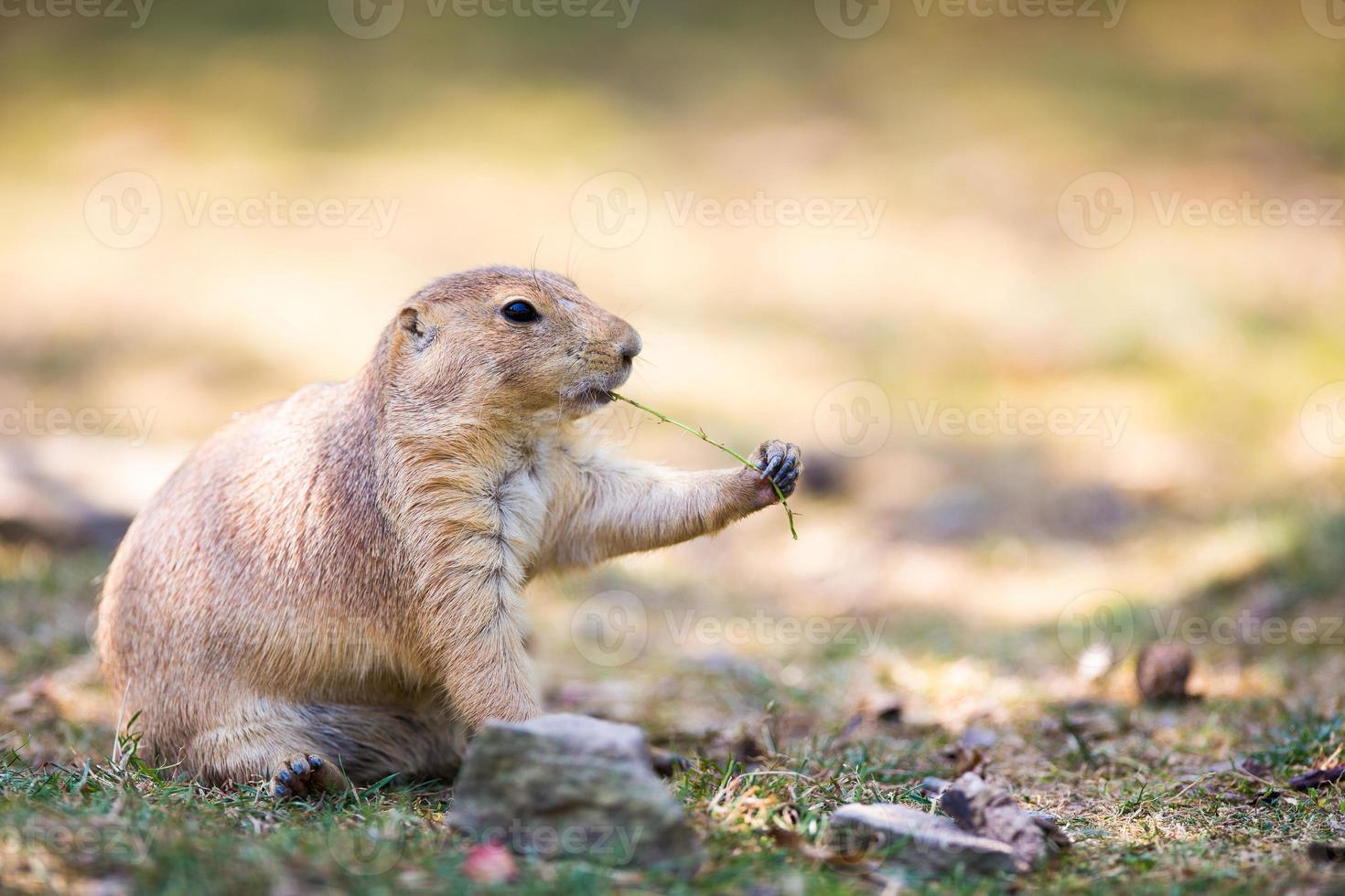 Black tailed prairie dog (Cynomys ludovicianus) photo