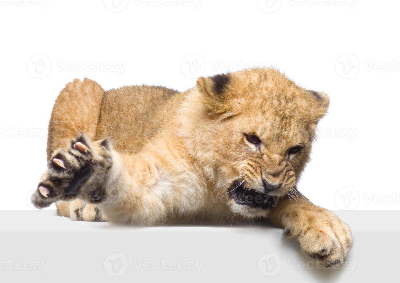 cachorro de león acostado foto