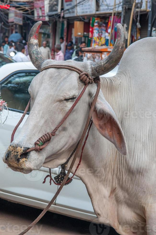 Cow at the street in Delhi photo