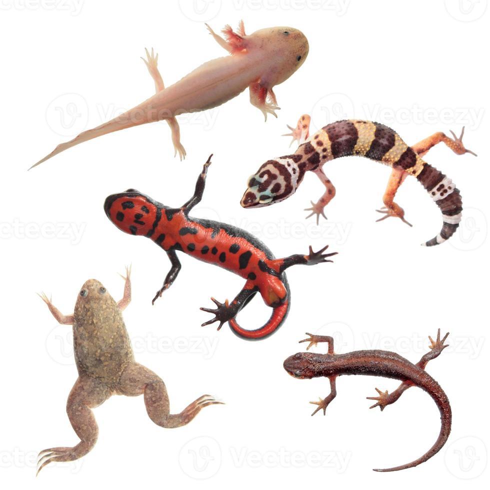 Set of amphibians and reptiles isolated on white background photo