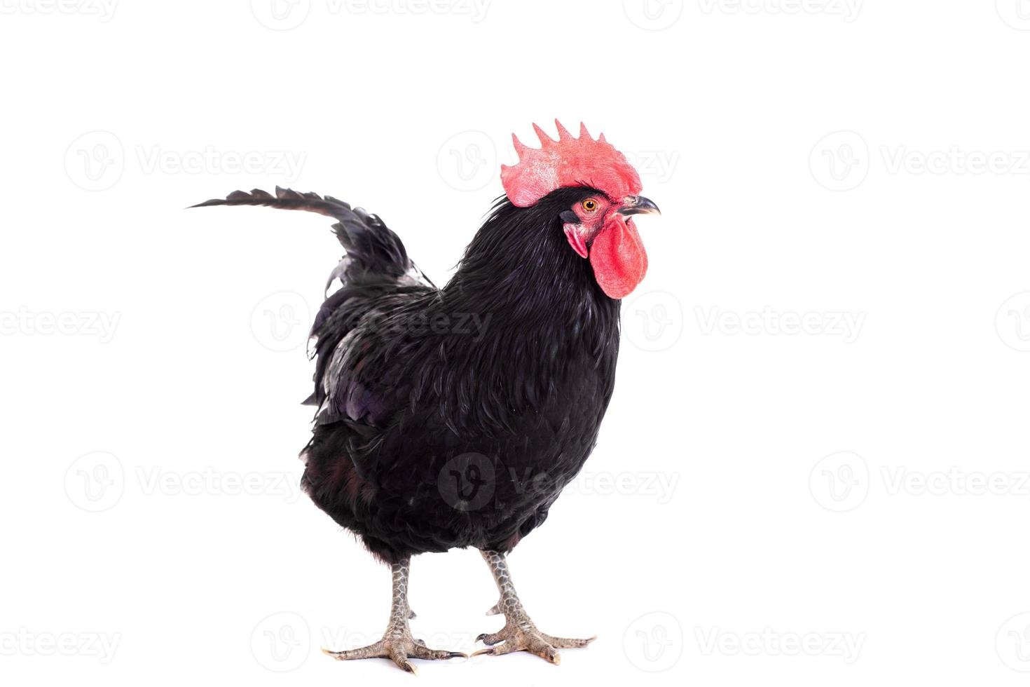 Black rooster on white photo