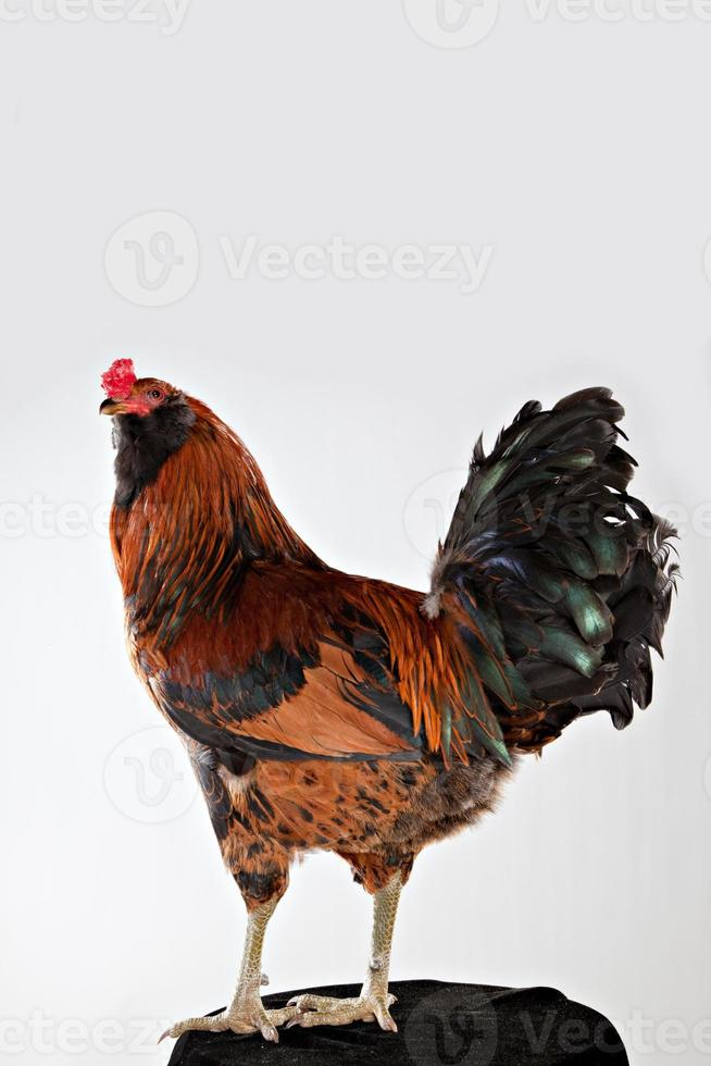 Americana Rooster Looking Up photo
