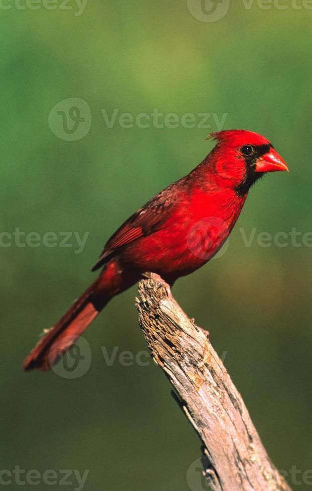 Male Northern Cardinal photo