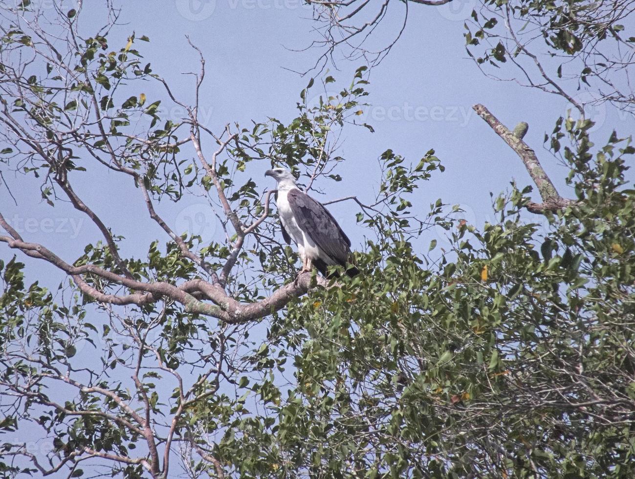 águila marina de vientre blanco encaramada en la copa de un árbol foto