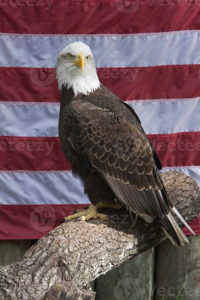 águila calva encaramado delante de la bandera americana foto