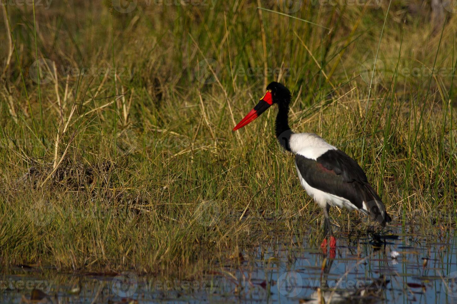 Saddle-billed stork photo