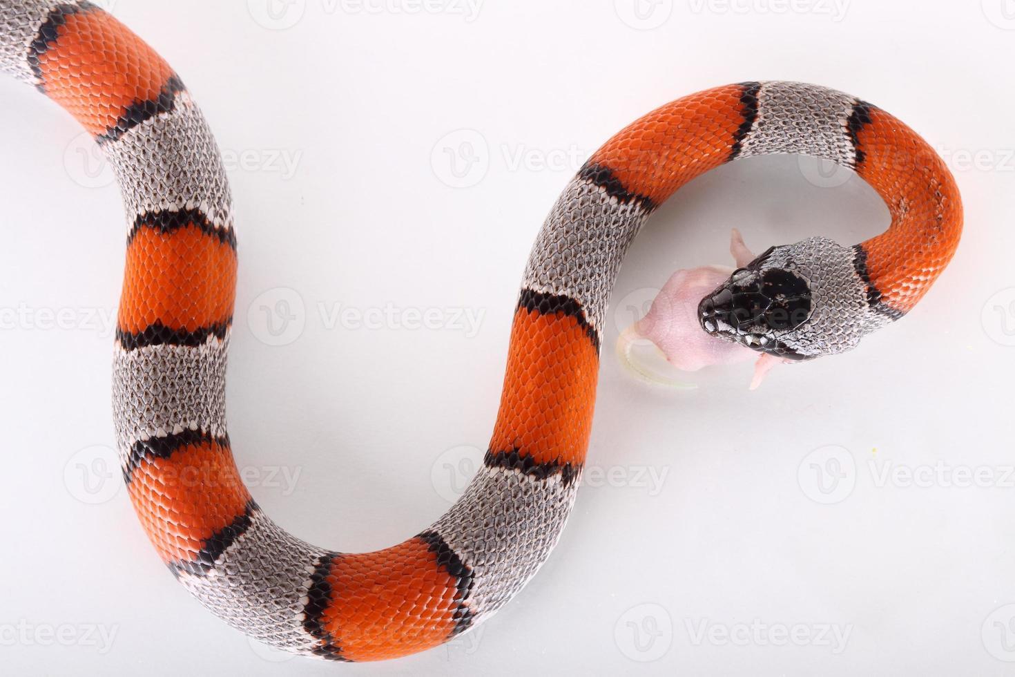 False coral snake photo