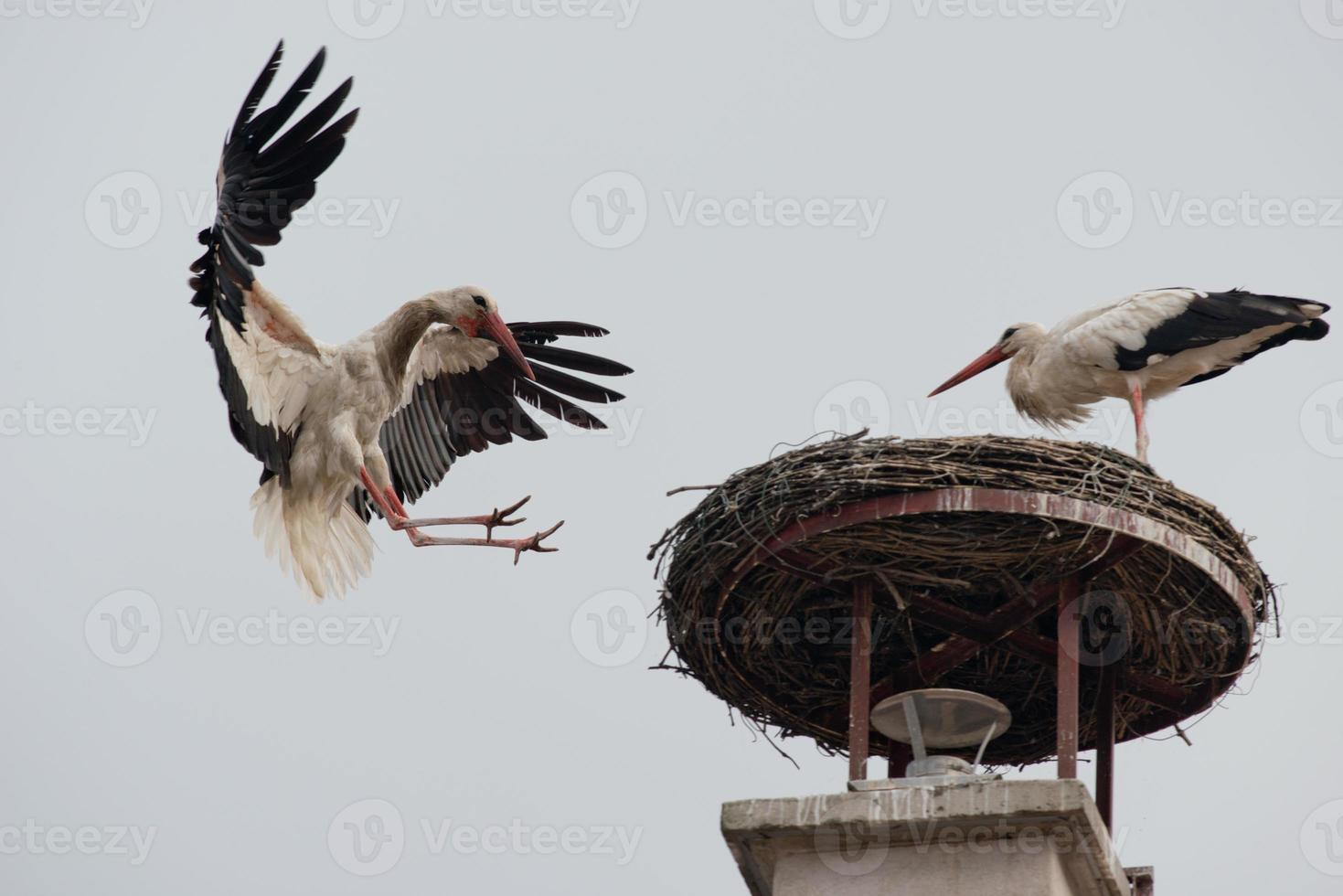 White Stork flying photo