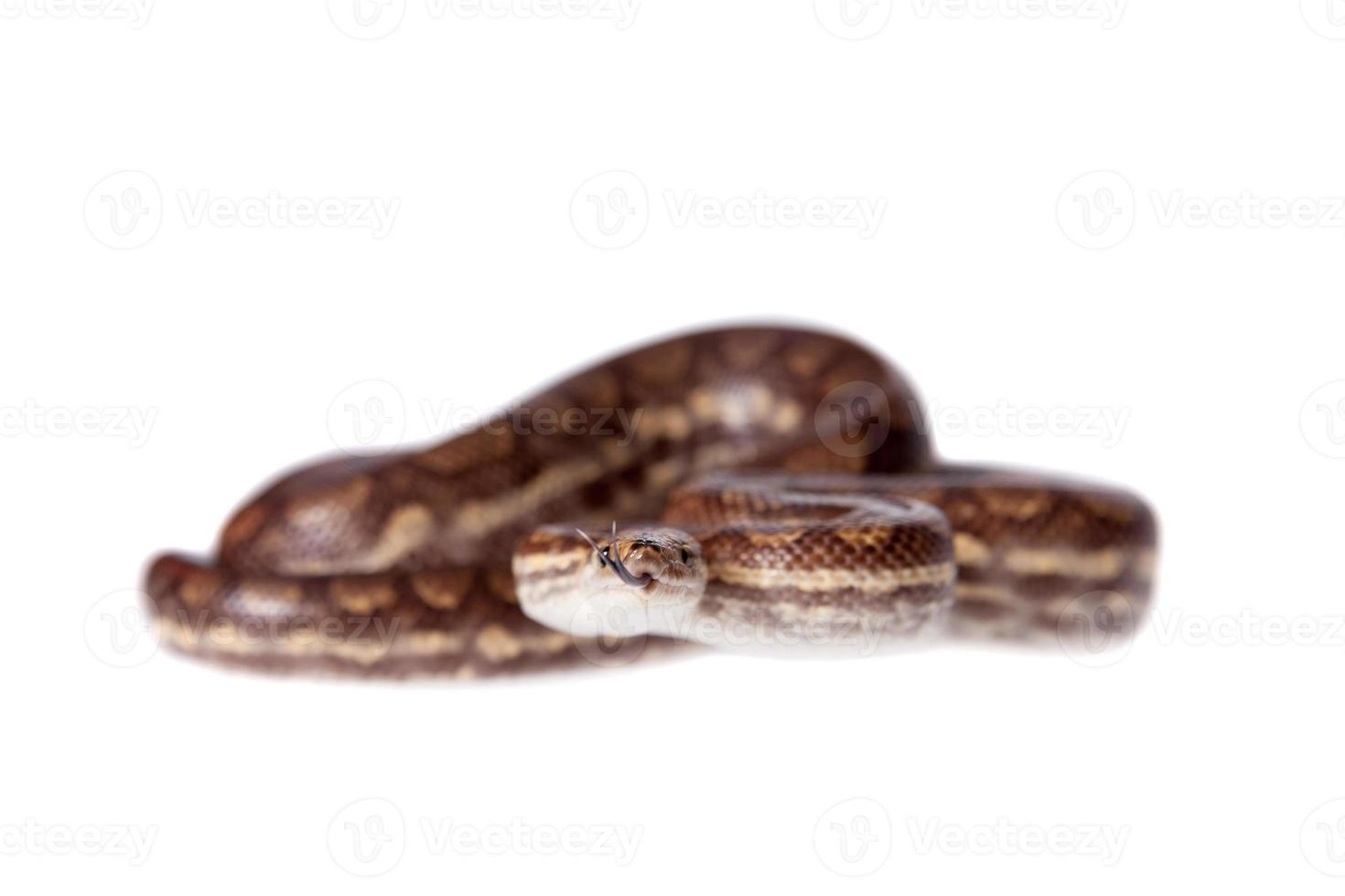 Rainbow tree boa on white background photo
