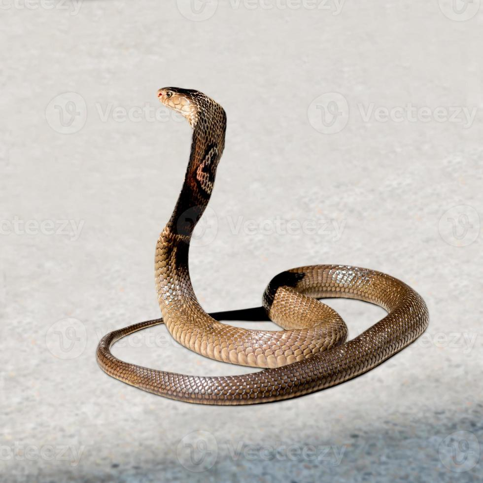 Cobra on the floor photo