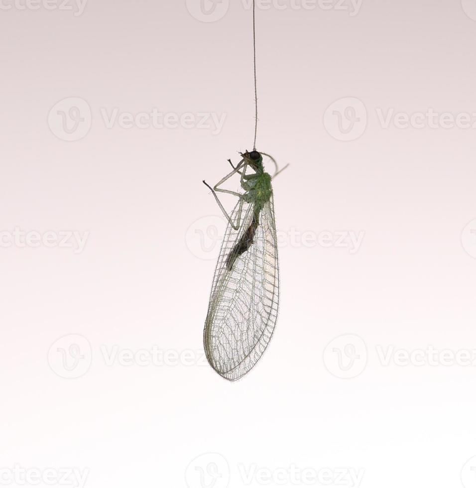 moscas de encaje - chrysoperla carnea foto