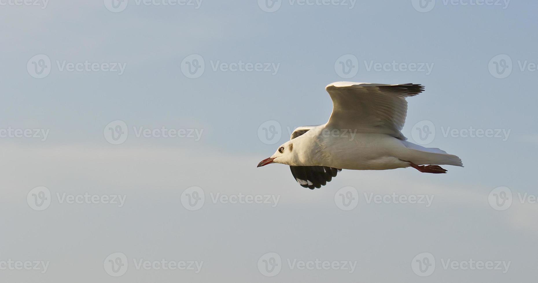 las gaviotas vuelan foto