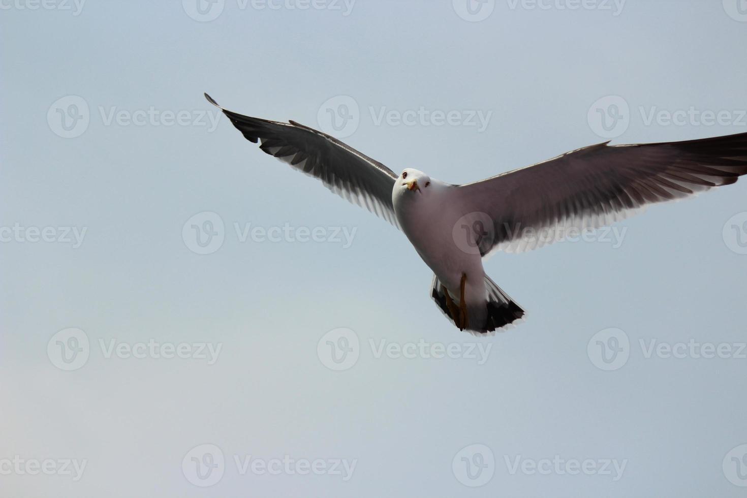 volando gaviota de cola negra. foto