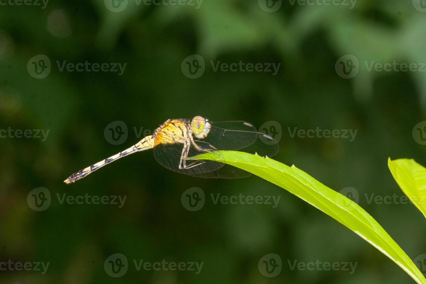 libélula foto