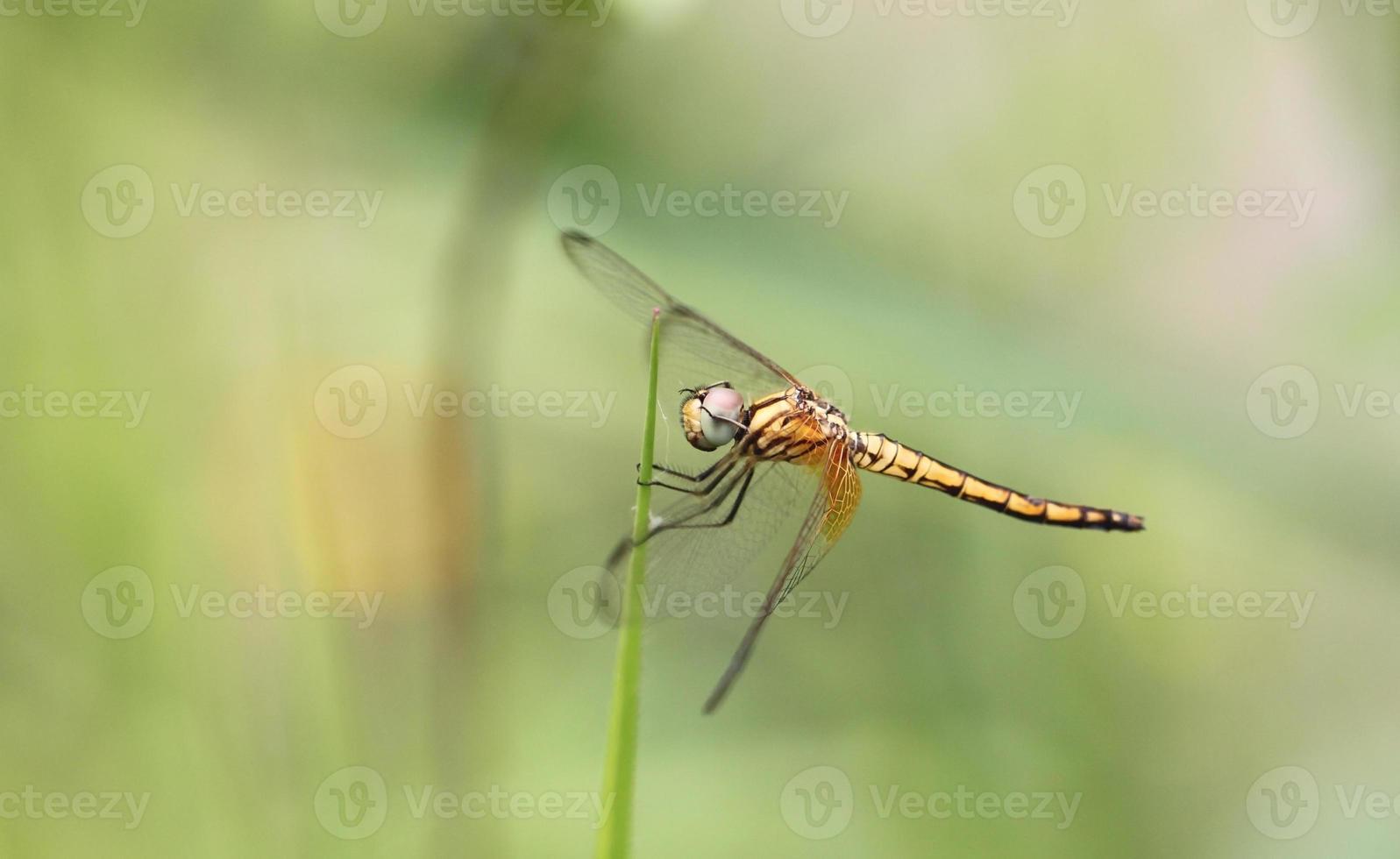 Orange dragonfly on top grass. photo