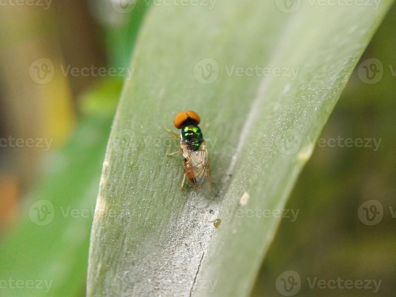 pequeña mosca en hojas verdes foto