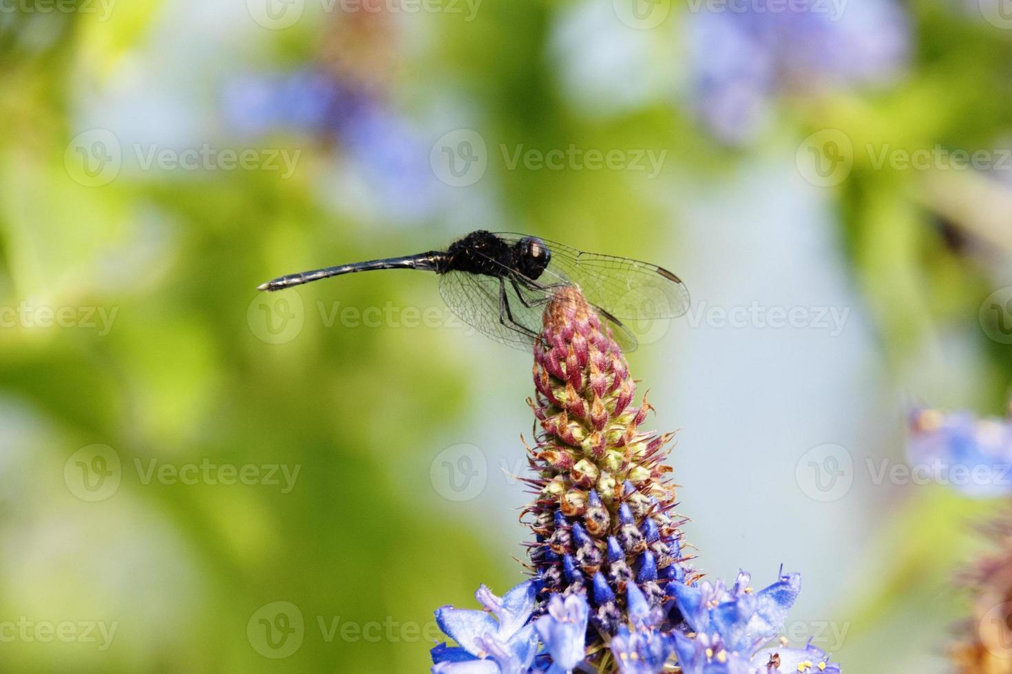 mosca del dragón en flor morada foto