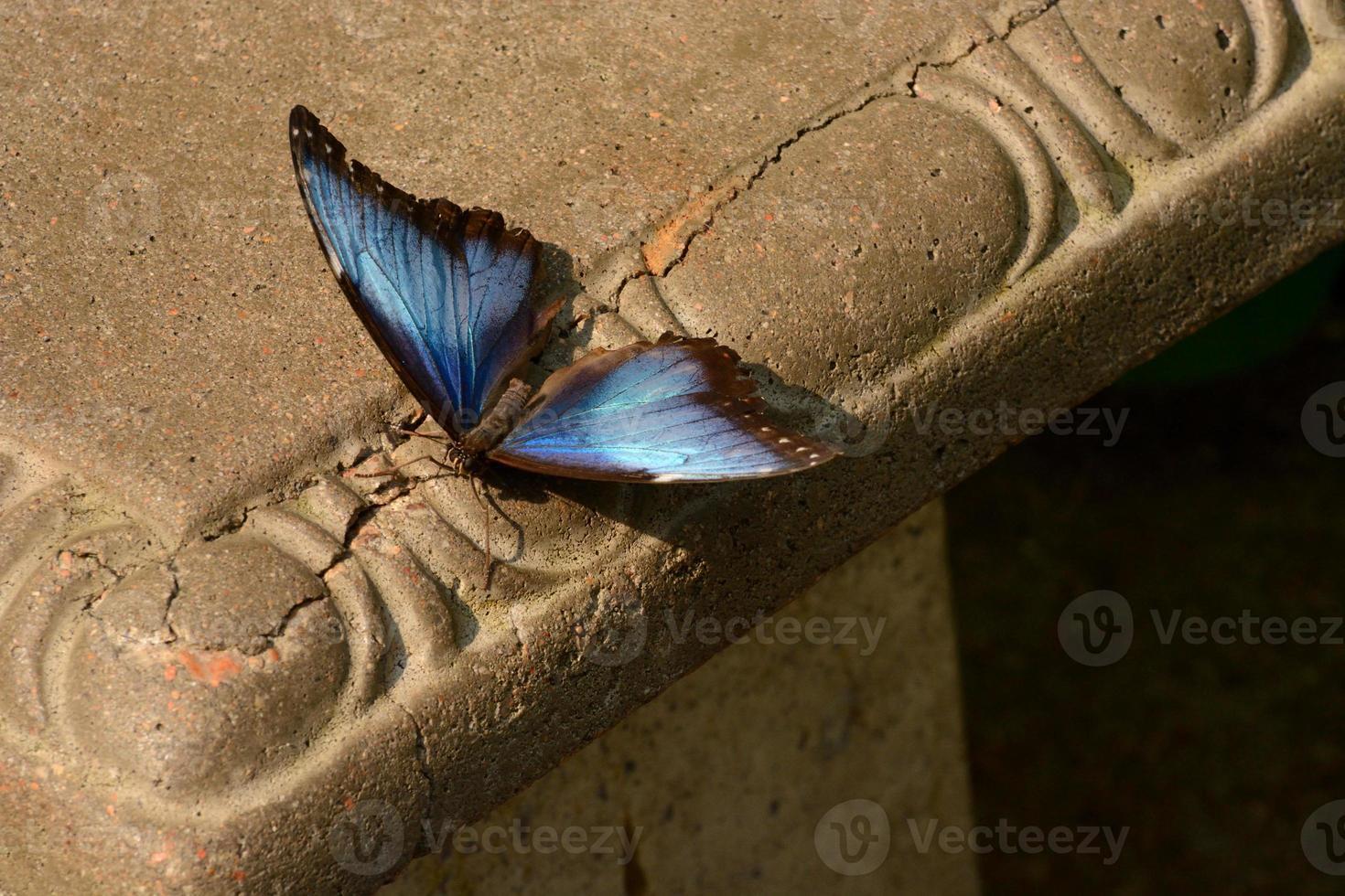 Blue Morpho Butterfly on bench photo
