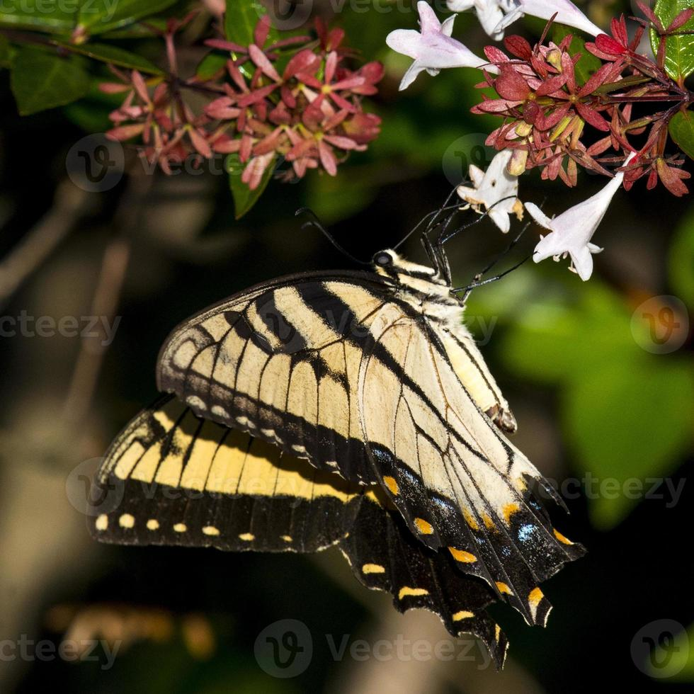 mariposa de cola de golondrina oriental foto