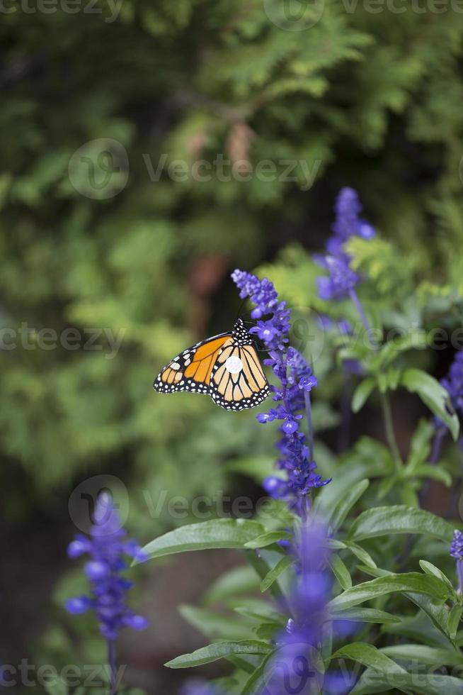 Butterfly - Monarch photo