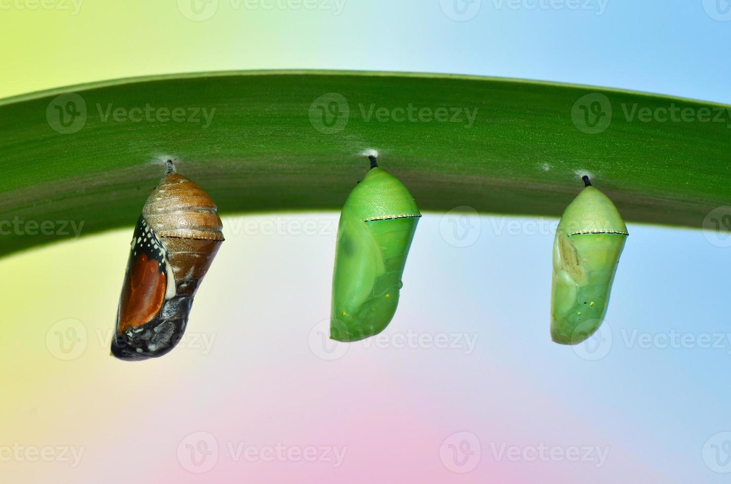 pupa of Plain Tiger Butterfly photo