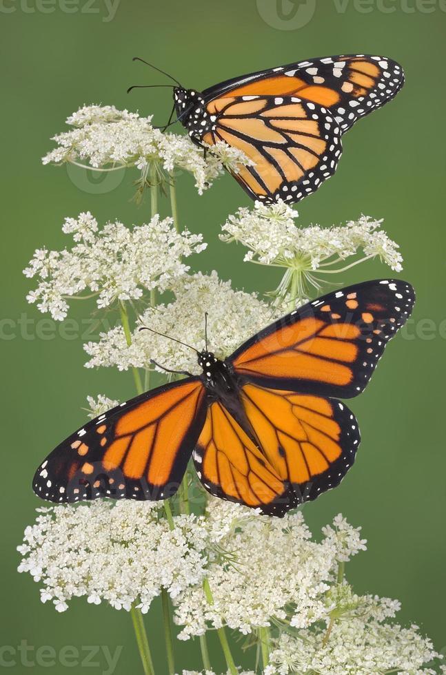 Two monarchs photo