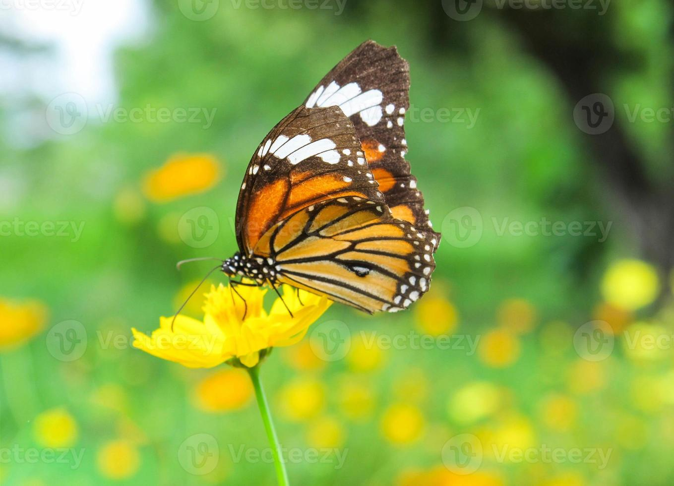 Butterfly on yellow cosmos flower,close up photo