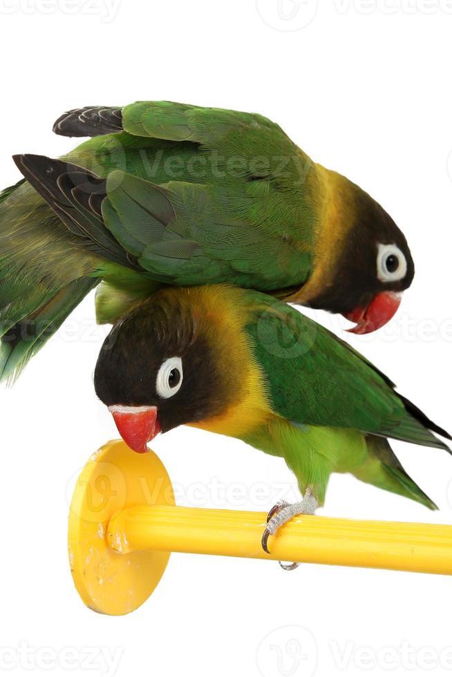 agapornis loro verde foto