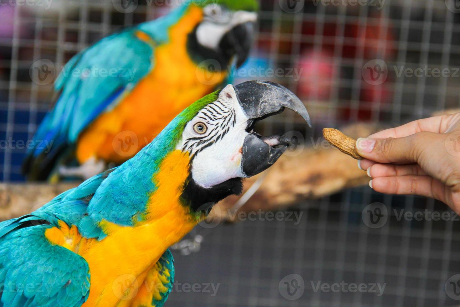 Macaw is eating the peanut photo