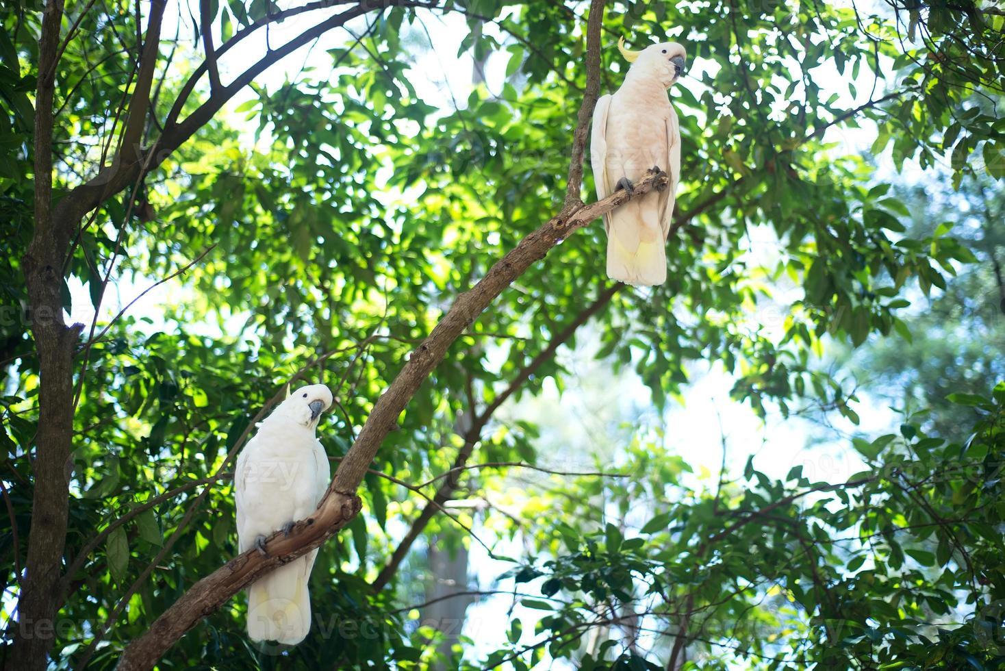 cacatúas blancas sentado en un brunch de árbol foto