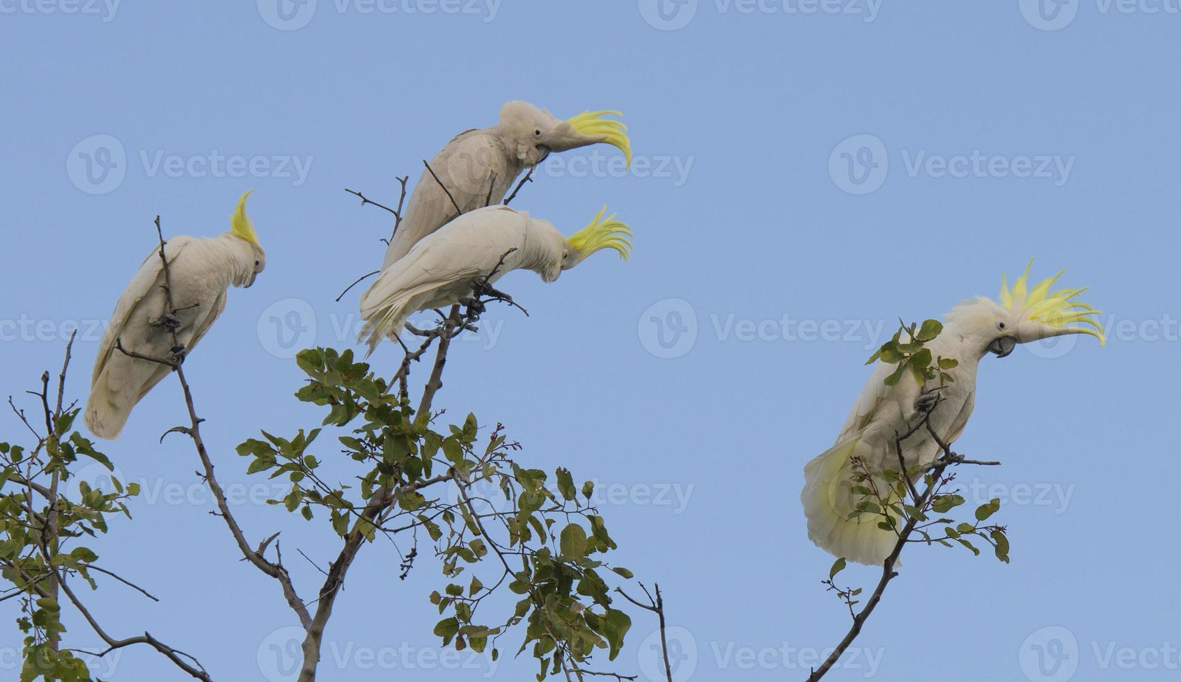 Cockatoos photo