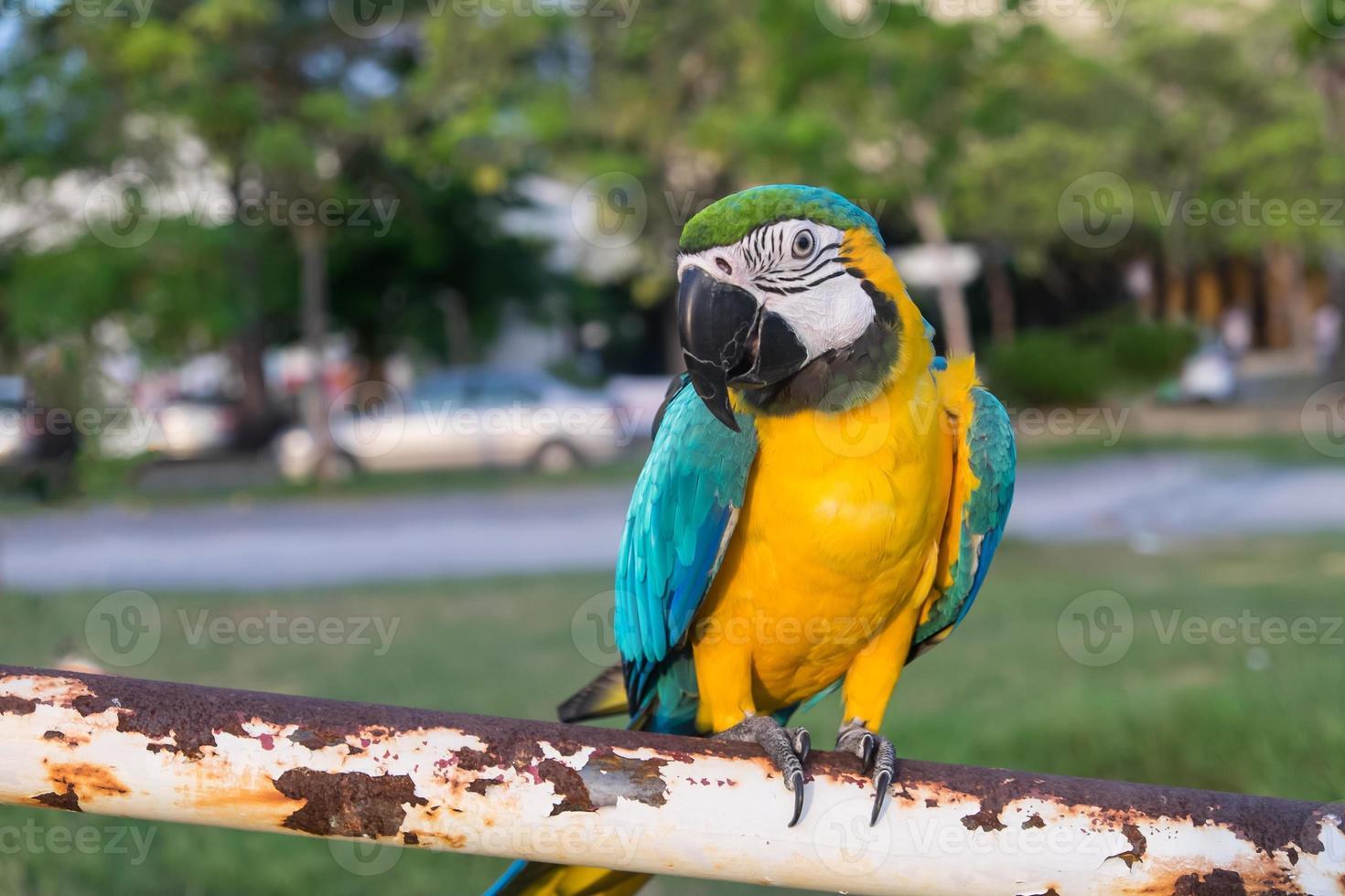papagaios coloridos cabeça closeup filmado em verde foto