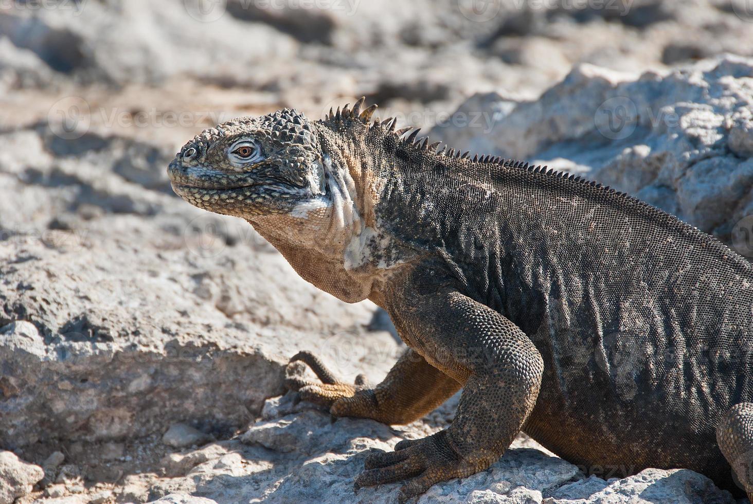 iguanas terrestres de Galápagos foto