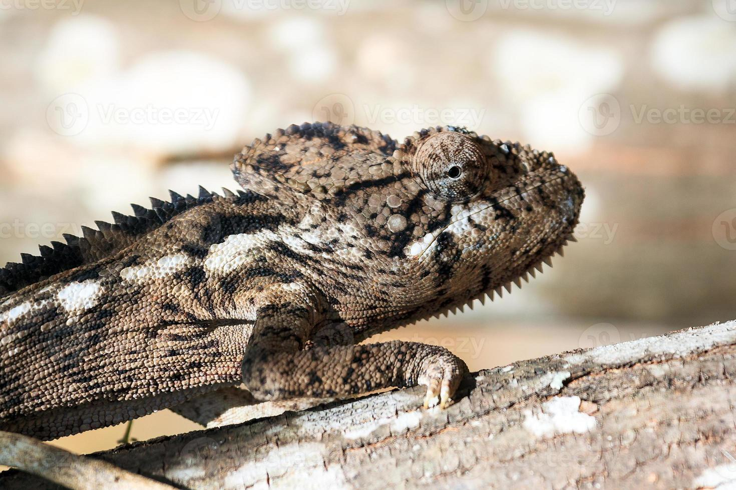 Big chameleon close up photo