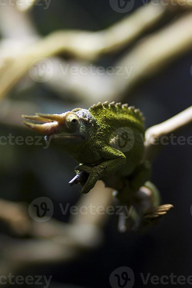 el camaleón de jackson foto