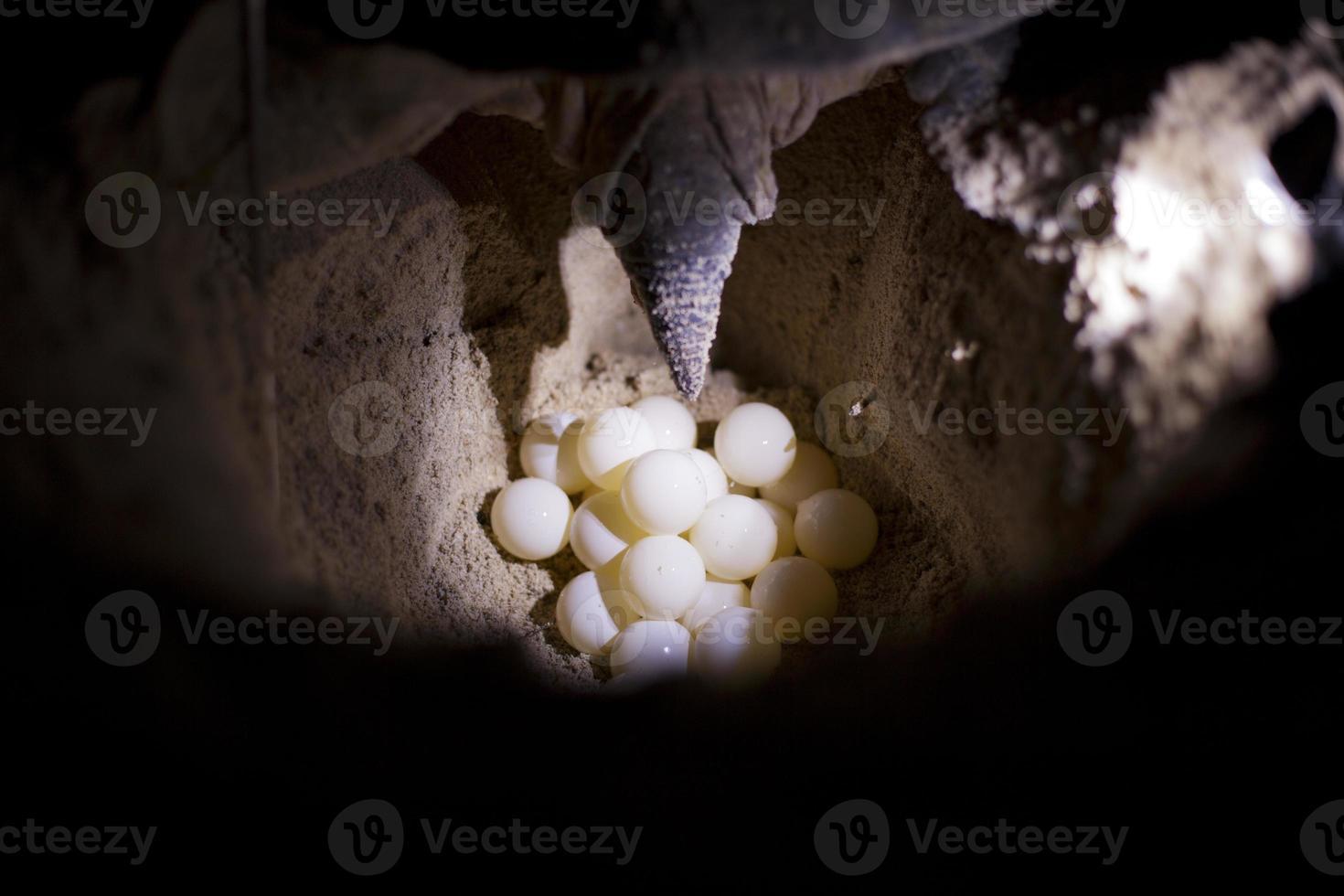 tortuga poniendo huevos. foto