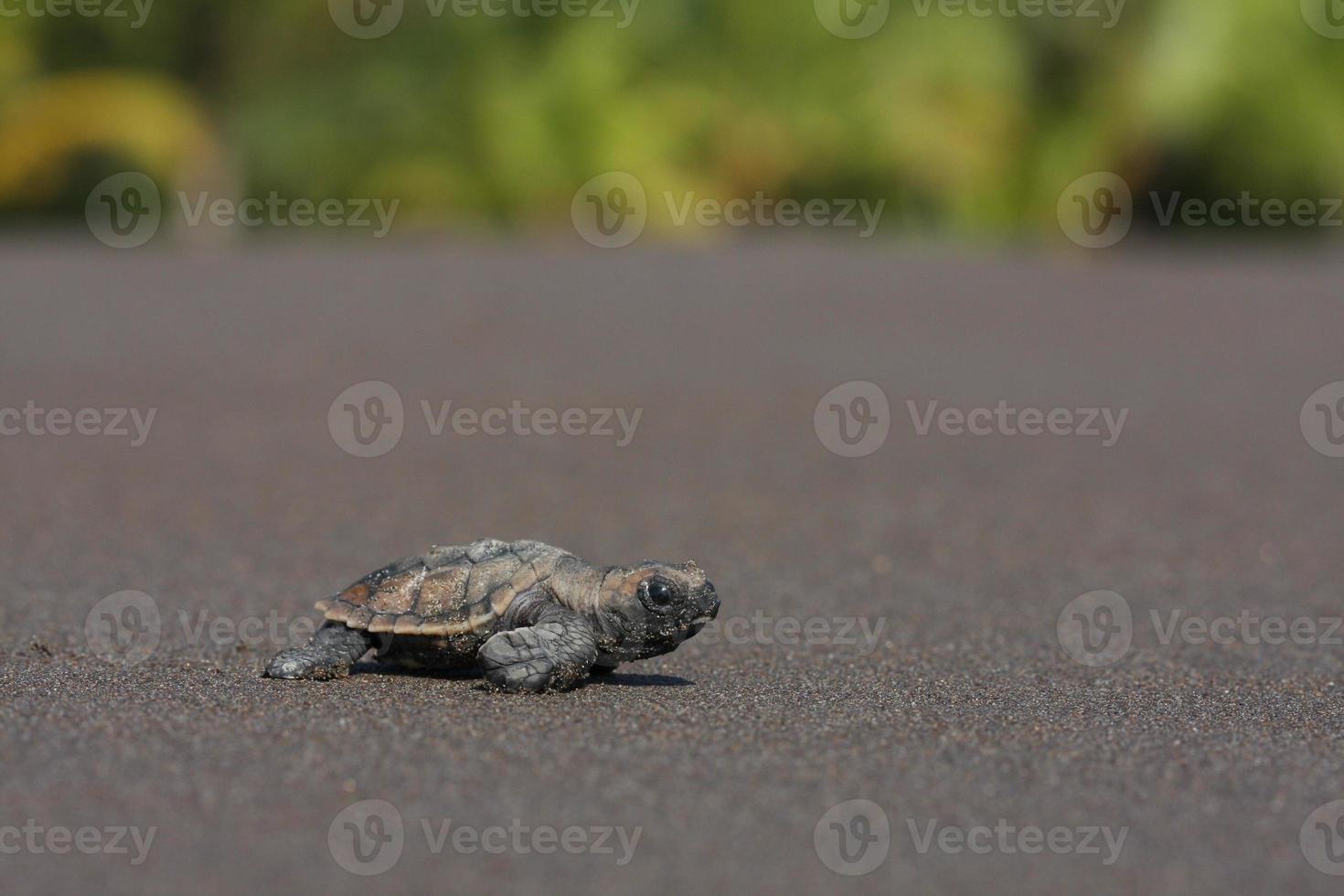 cría de tortuga marina (eretmochelys imbricata) foto